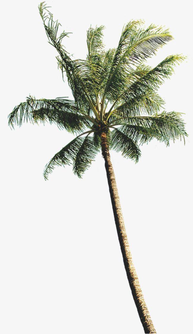Coconut tree clipart plan png transparent download Coconut Tree Photos, Coconut Clipart, Tree Clipart, Coconut Tree PNG ... png transparent download