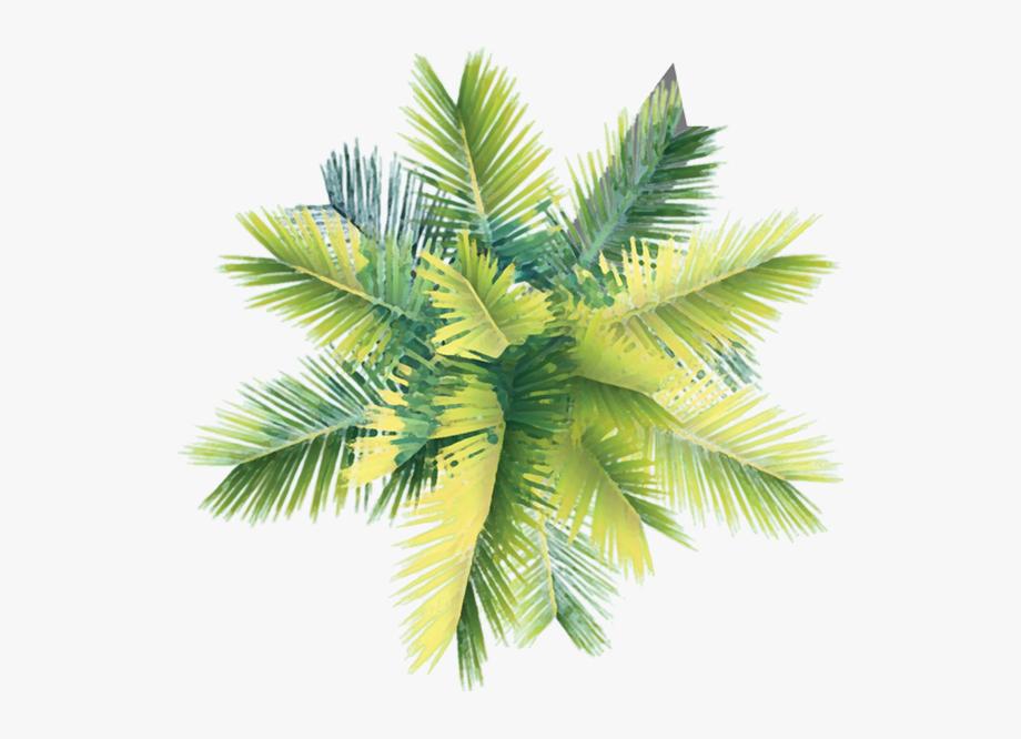 Coconut tree clipart plan transparent Coconut Tree Clipart Curved - Palm Tree Plan Png , Transparent ... transparent
