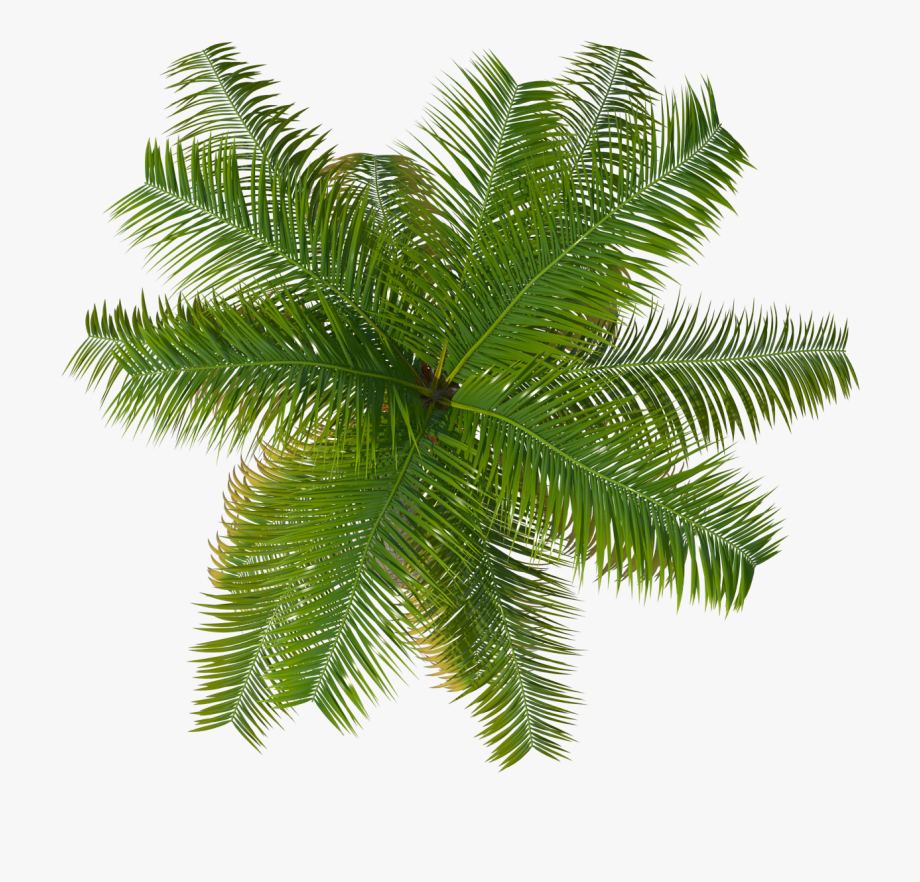 Palm tree clipart plan freeuse download Palm Image Purepng - Palm Tree Top View Png #1934790 - Free ... freeuse download