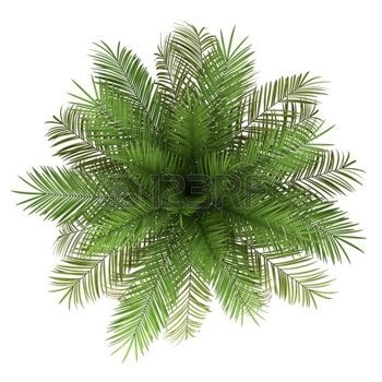 Tree top view clipart for photoshop transparent plants top view: top view of date palm tree isolated on ... transparent