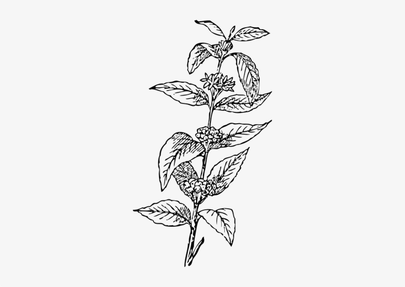 Coffee leaf clipart vector free stock Coffee Bean Plant Vector Coffee Bean Clipart - Coffee Leaf Vector ... vector free stock