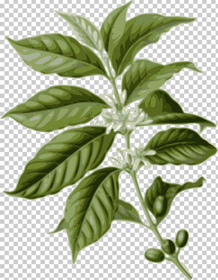 Coffee leaf clipart clip royalty free download Coffee-leaf Tea Coffee Bean Arabica Coffee PNG, Clipart, Arabica ... clip royalty free download