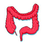 Colon clipart banner freeuse stock Free Intestine Cliparts, Download Free Clip Art, Free Clip Art on ... banner freeuse stock