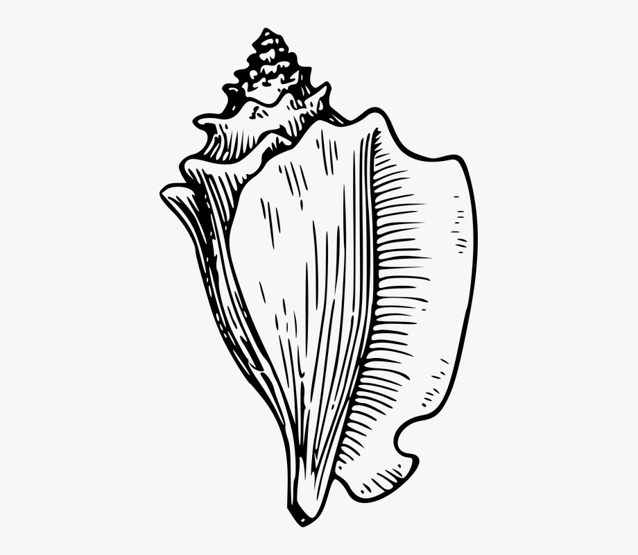 Conch shell clipart free png free library Shell Clip Art Black And White - Conch Shell Clipart #862642 - Free ... png free library