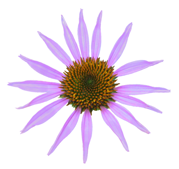 Cone flower clipart clipart library download Echinacea Clr Bk Xcol R | Free Images at Clker.com - vector clip art ... clipart library download