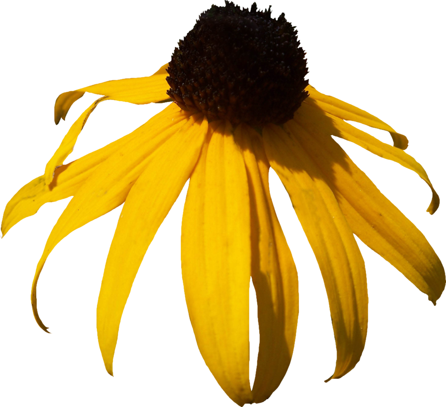 Cone flower clipart svg black and white library Black Eyed Susan PNG by Thy-Darkest-Hour on DeviantArt svg black and white library