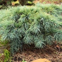 Conifer kingdom. Photos nurseries gardening brush