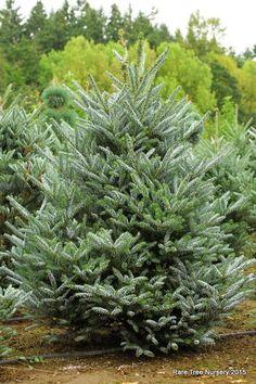 Pinus strobus kbn variegated. Conifer kingdom