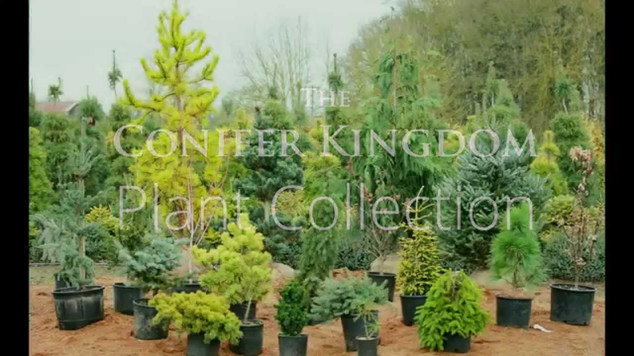 Conifer kingdom. Plant collection youtube
