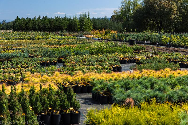 Conifer kingdom. Rare tree form and