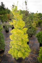 Pinus strobus louie eastern. Conifer kingdom