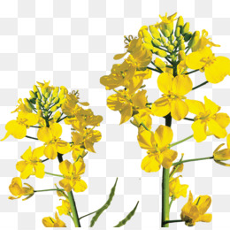 Conola clipart png download Canola PNG and Canola Transparent Clipart Free Download. png download