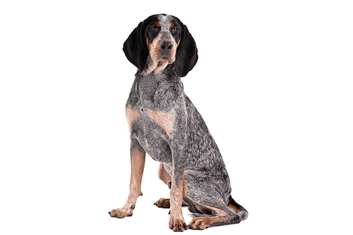 Coon hunting dog clipart picture stock Bluetick Coonhound Dog Breed Information | Pinterest | Bluetick ... picture stock