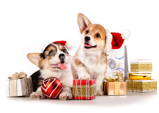 Corgi christmas hat clipart graphic royalty free library Puppies Corgi Wearing A Santa Hat, New Year\'s Stock Photos ... graphic royalty free library