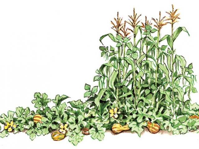 Corn beans and squash clipart image download Free Bean Clipart, Download Free Clip Art on Owips.com image download