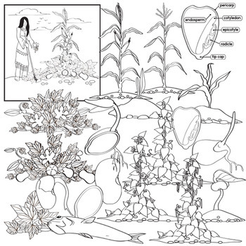 Corn beans and squash clipart picture freeuse stock Native American Agriculture - Corn , Beans and Squash Life Cycle Clip Art picture freeuse stock