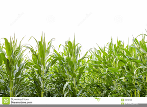 Cornfield clipart png library stock Cornfield Clipart   Free Images at Clker.com - vector clip ... png library stock