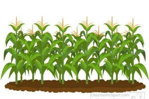 Cornfield clipart banner library stock Cornfield clipart 8 » Clipart Portal banner library stock