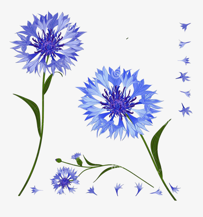Cornflower clipart png free download Download Cornflower clipart Cornflower Drawing | Drawing ... png free download