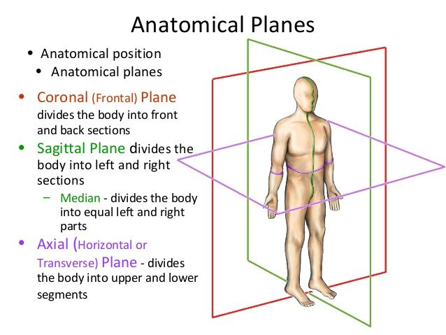 Coronal plane clipart vector library download 17 Best ideas about Sagittal Plane on Pinterest | Medical ... vector library download