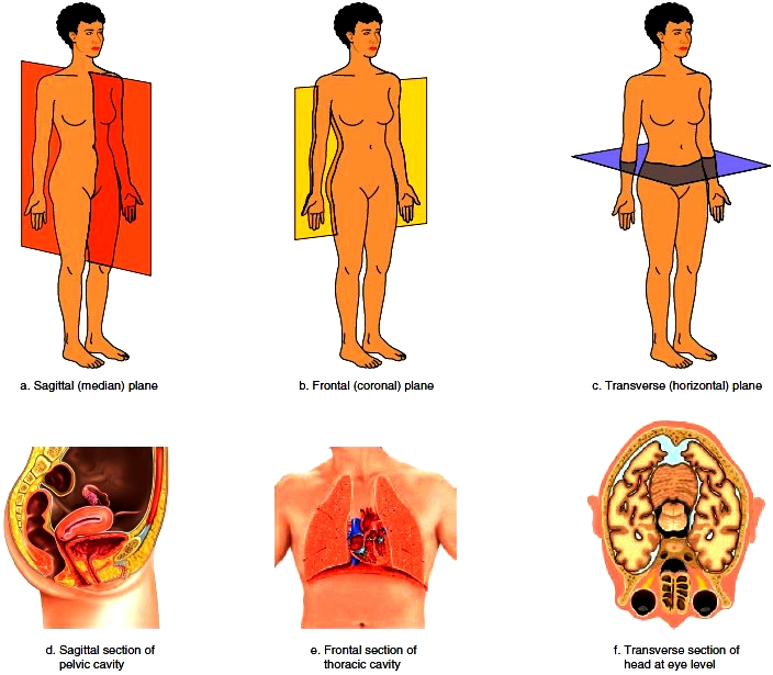 Coronal plane clipart picture stock Anatomical Terms picture stock