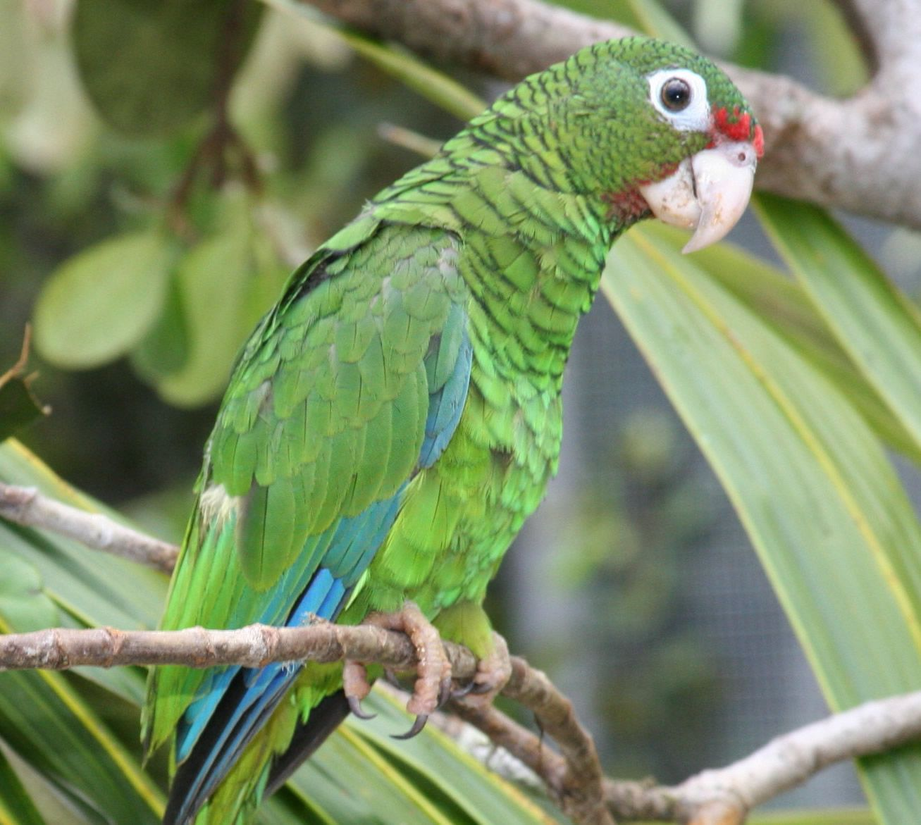 Cotorra clipart clipart library stock Critically Endangered Puerto Rican Amazon parrot (Cotorra ... clipart library stock