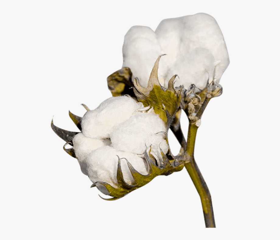 Cotton plant clipart picture free stock Cotton Png Clipart - Cotton Plant Transparent , Transparent Cartoon ... picture free stock
