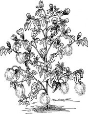 Cotton plant clipart image freeuse library Free Cotton Plant Clipart and Vector Graphics - Clipart.me image freeuse library