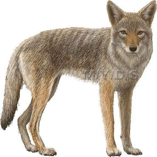 Coyotte clipart vector download Coyote clipart picture / Large | Clip Art- Animals | Clip art ... vector download