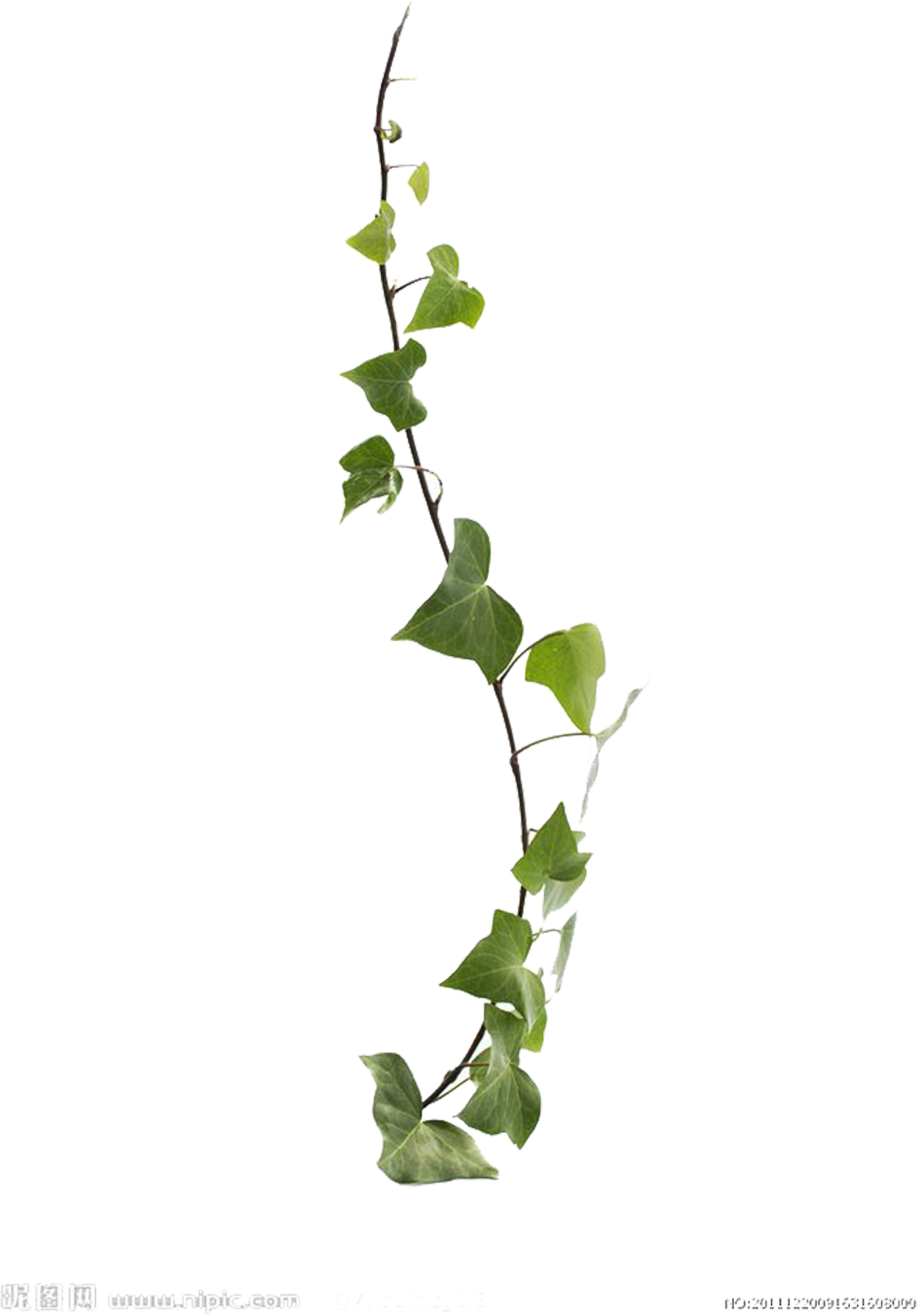 Creepers clipart graphic free stock HD Available Plant Leaf For Creeper Vine Virginia Clipart - Creepers ... graphic free stock