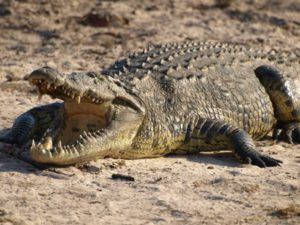 Crocodile and the Plover Bird – SmallScience image library library