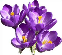 Crocus clipart free clip library stock Free Crocus Cliparts, Download Free Clip Art, Free Clip Art on ... clip library stock