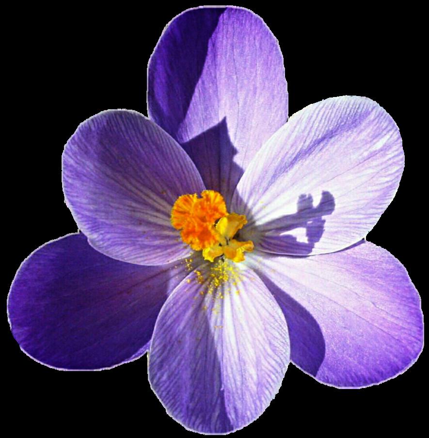 Crocus flower clipart royalty free download Purple Crocus by jeanicebartzen27 on DeviantArt royalty free download
