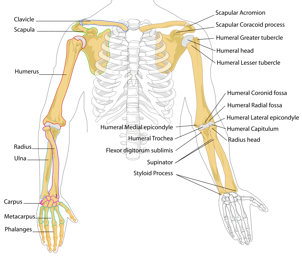 Cross arms clipart picture black and white stock File:Human arm bones diagram.svg - Wikipedia picture black and white stock