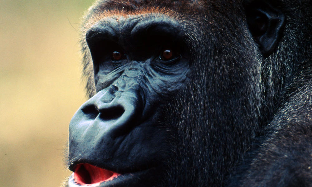 By mgjackson publish with. Cross river gorilla clipart