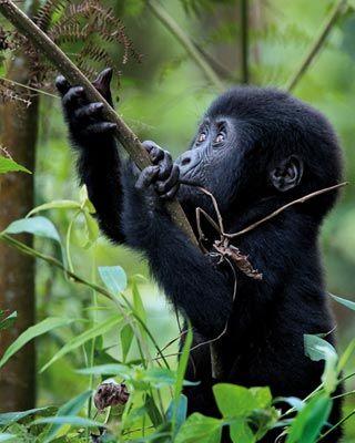Highland rainforest cameroon. Cross river gorilla clipart