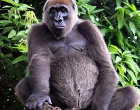 Cross river gorilla clipart clip art download Cross River gorilla, Limbe Wildlife Centre, Cameroon (incredibly ... clip art download
