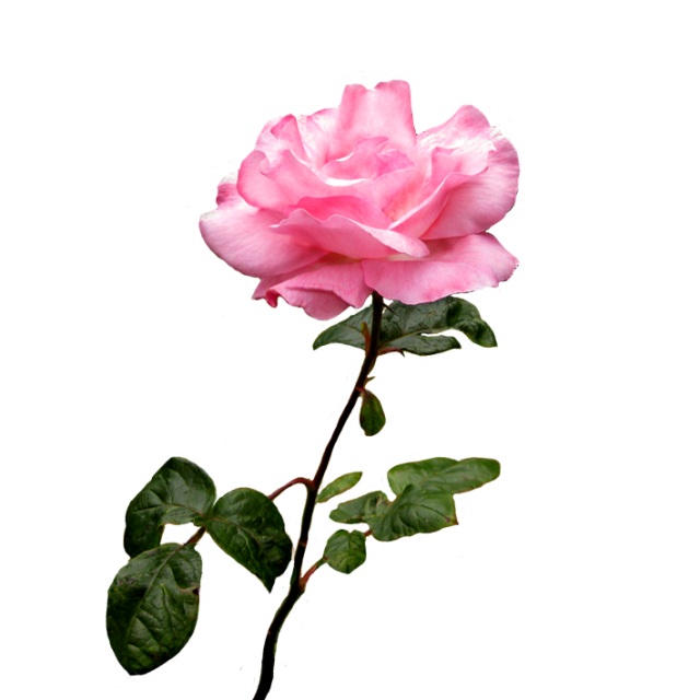 Cross with roses clipart clipart pink rose flower on stalk with leaves — imgbb.com | 12 | Pinterest ... clipart