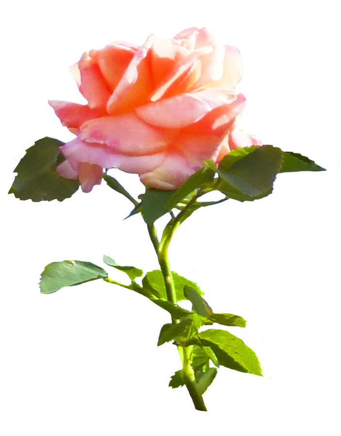 Crown of roses clipart. Rose pink with leaves