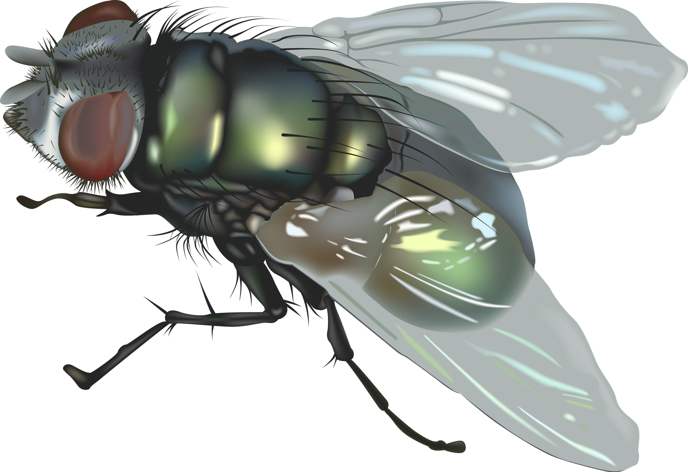 Cute house fly clipart.  collection of high