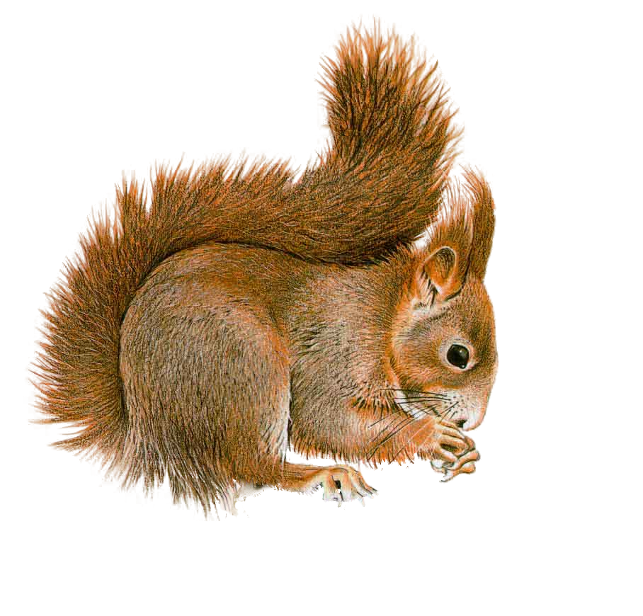 Cute thanksgiving squirrel nut clipart vector freeuse stock Squirrel PNG by LG-Design on DeviantArt | já | Pinterest | Squirrel ... vector freeuse stock