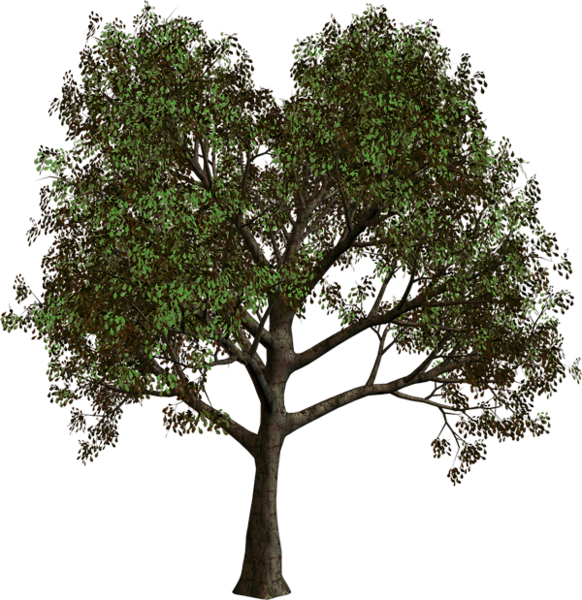 Cypress tree clipart png library library Gallery - Trees PNG Clipart png library library