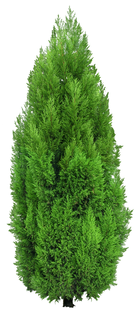 Plant tree clipart image freeuse Cypress Tree PNG Clipart | render resources | Pinterest | Cypress ... image freeuse