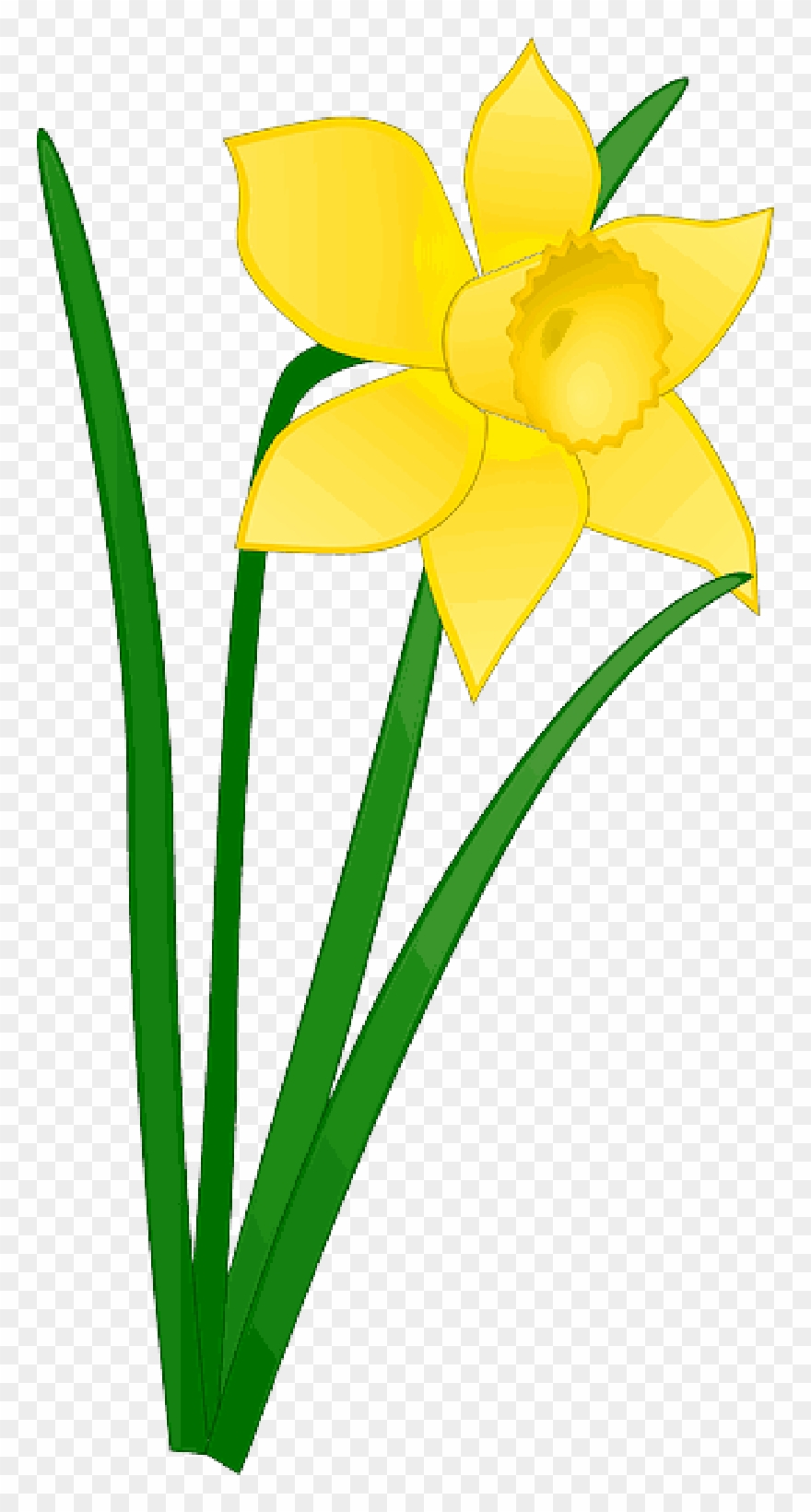 Daffodil clipart image transparent download Daffodil Clipart Church Flower - Daffodil Clipart - Png Download ... image transparent download