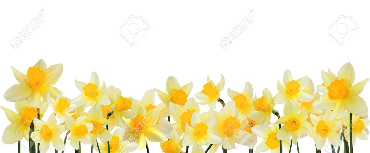 Daffodil border clipart black and white Daffodil border clipart 9 » Clipart Station black and white