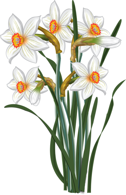 Daffodil flower clipart png library stock flowers - vector Narcissus   malowanki   Pinterest   Flowers, Clip ... png library stock