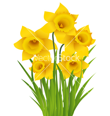Daffodil graphics. Vector images over vectorstock