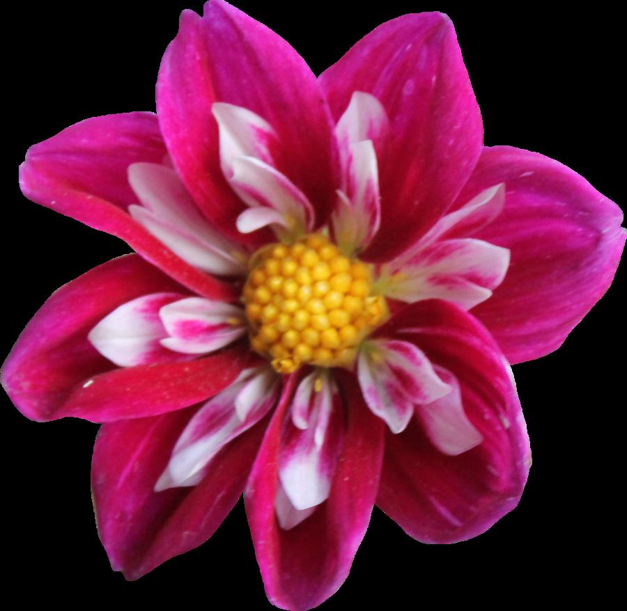 Dahlia flower clipart banner freeuse stock Dahlia PNG by Thy-Darkest-Hour on DeviantArt banner freeuse stock