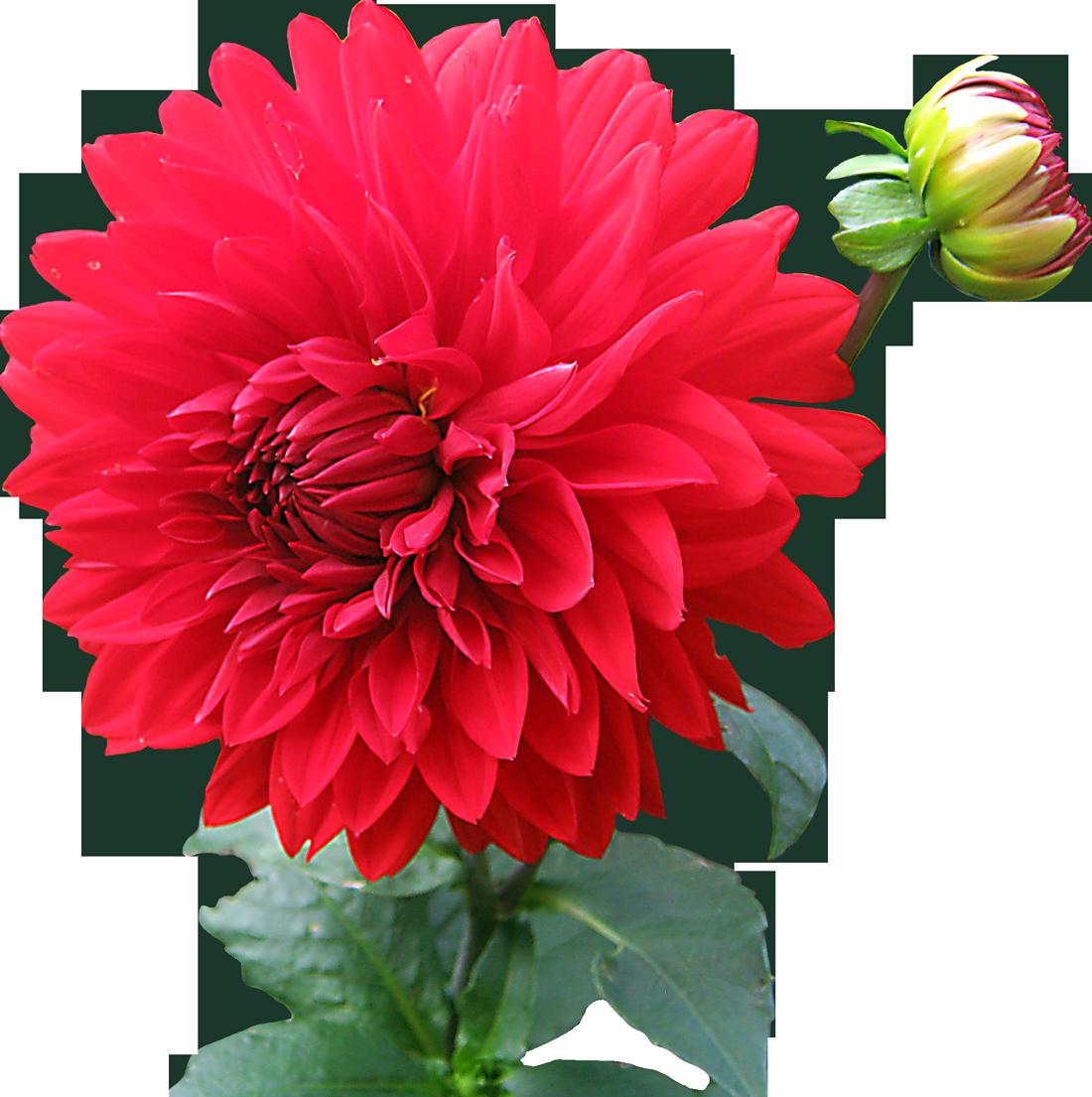 Dahlia flower clipart clip transparent Dahlia Flower PNG Image - PurePNG | Free transparent CC0 PNG Image ... clip transparent