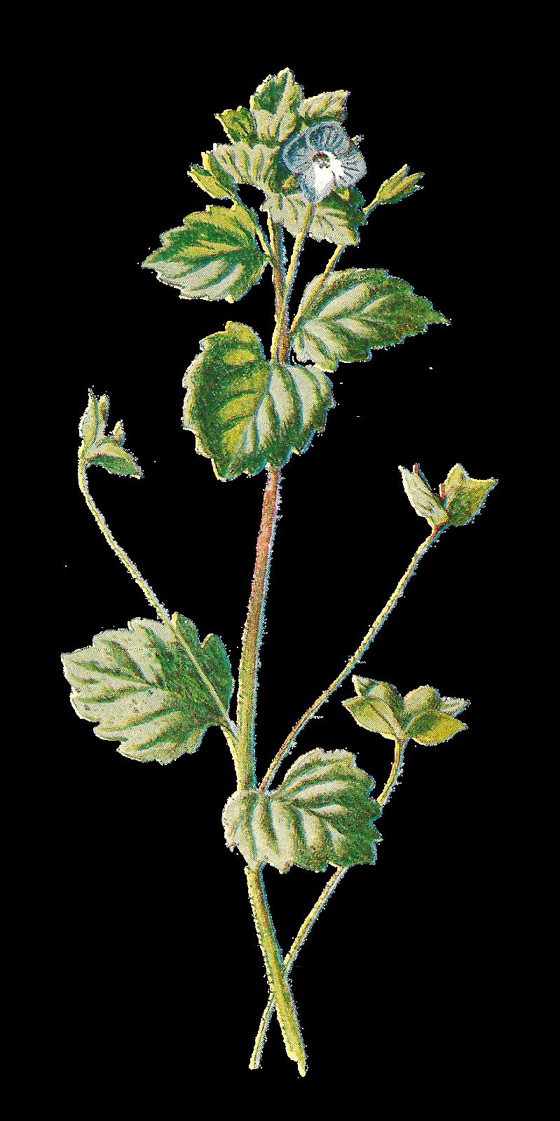 Dainty flower clipart image download Antique Images: Free Antique Botanical Illustration: Digital Flower ... image download